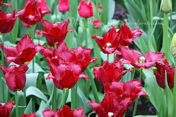 tulipshow56