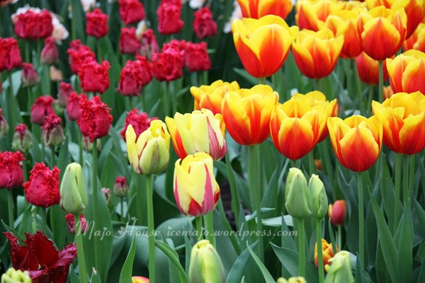 tulipshow57