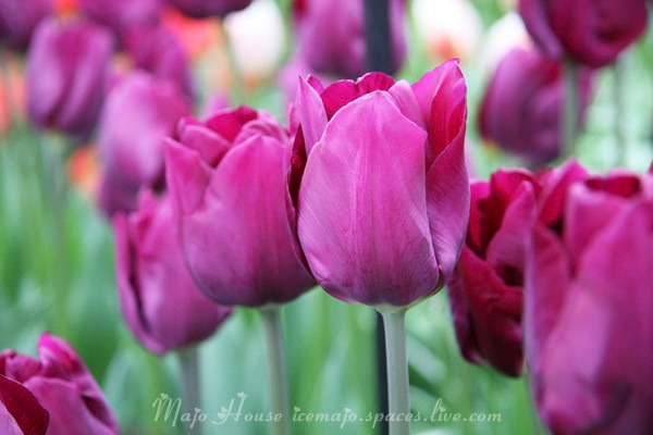 tulipshow58