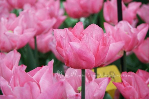 tulipshow59