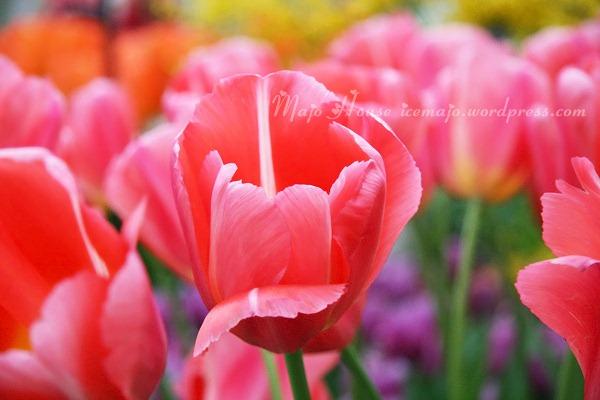 tulipshow60