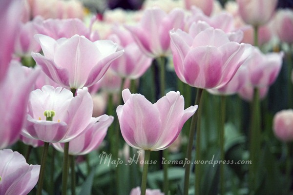 tulipshow61