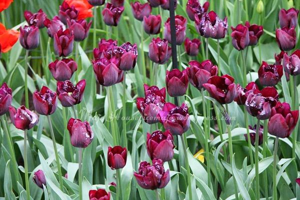 tulipshow62