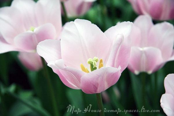 tulipshow63