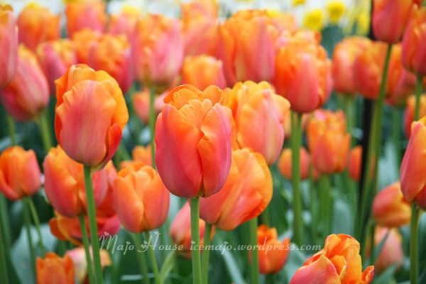 tulipshow65