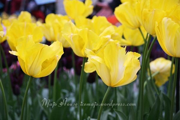 tulipshow66