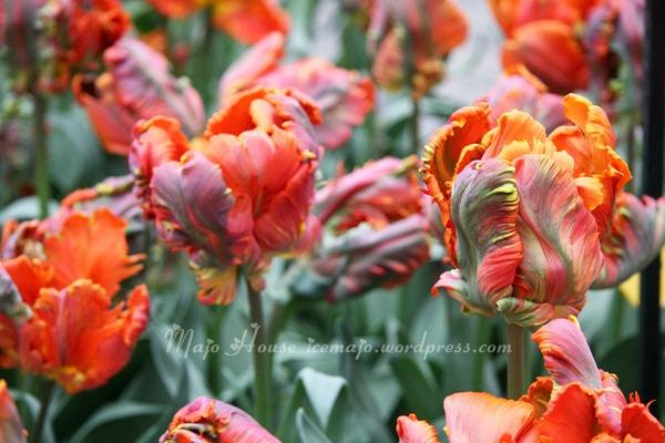 tulipshow67