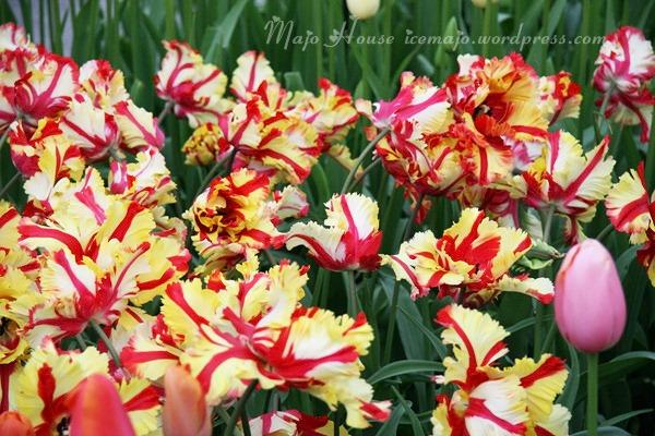tulipshow68