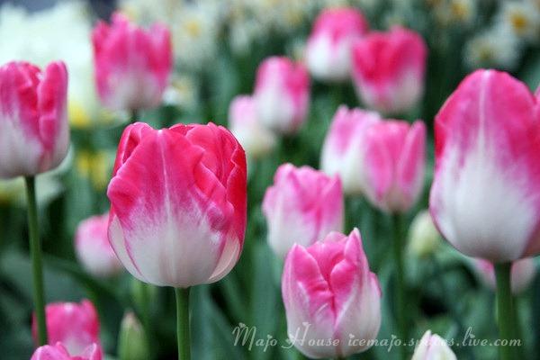 tulipshow69