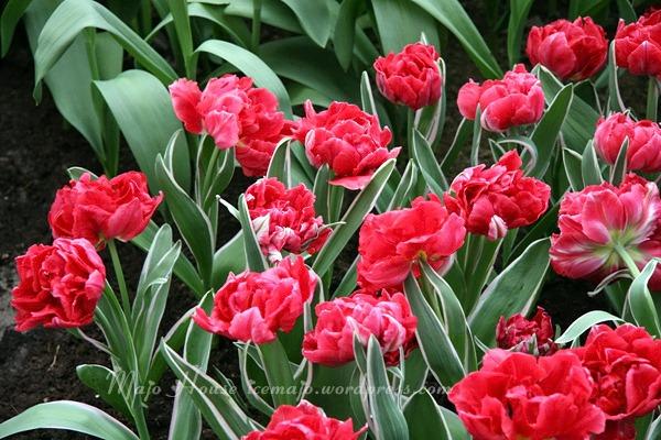 tulipshow70