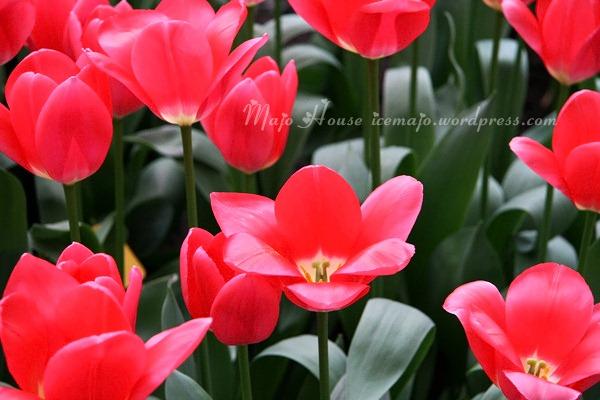 tulipshow71