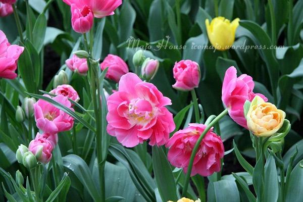 tulipshow72