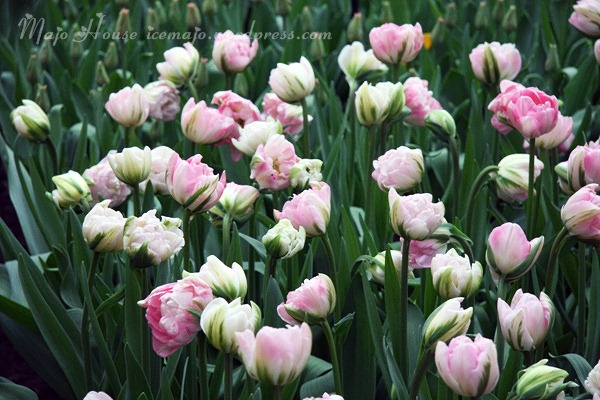 tulipshow73