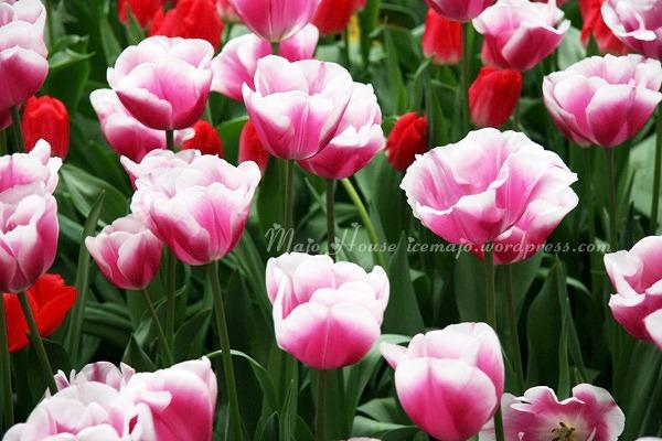 tulipshow74