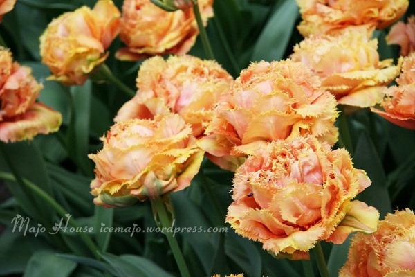 tulipshow75