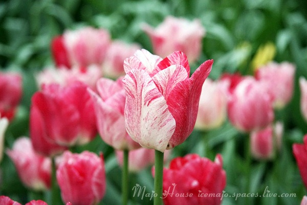 tulipshow76