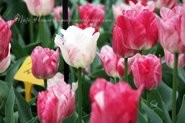 tulipshow77