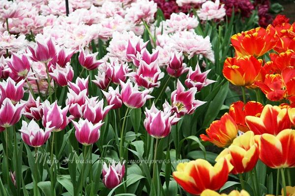 tulipshow78