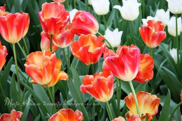 tulipshow80