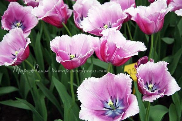 tulipshow81