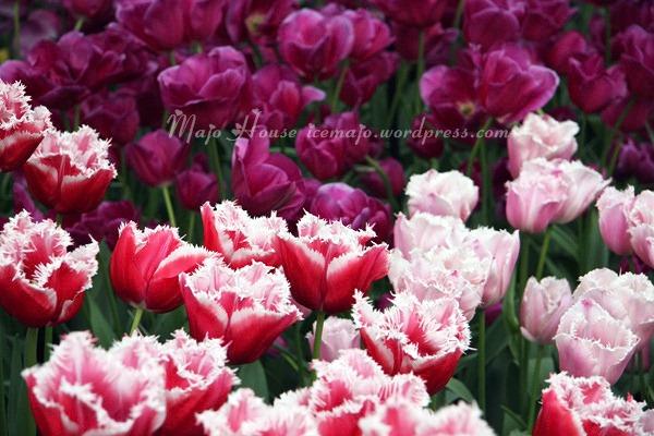 tulipshow82
