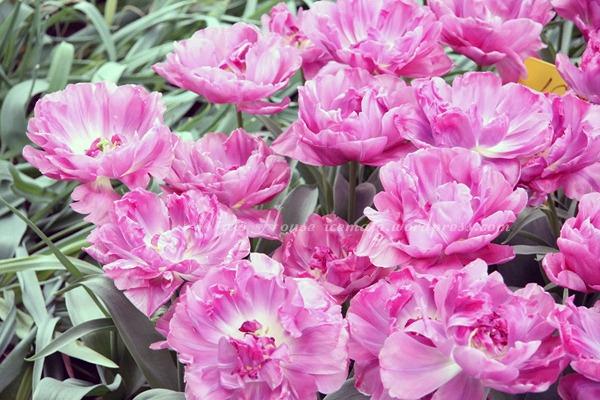 tulipshow84