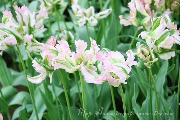 tulipshow85