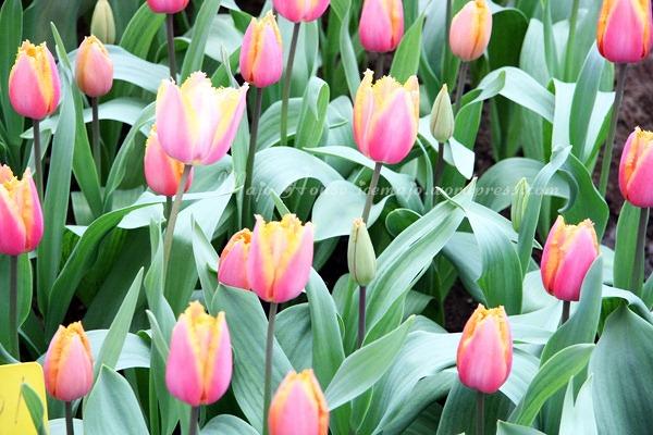 tulipshow86