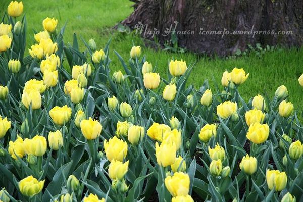 tulipshow87