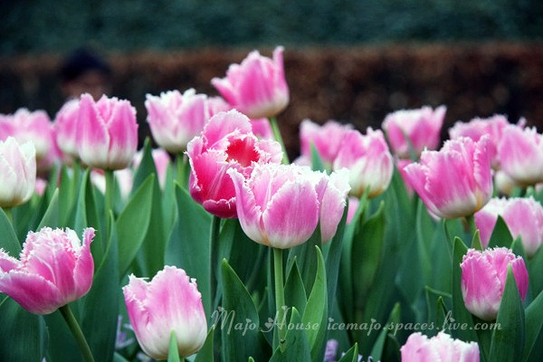 tulipshow89