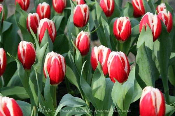 tulipshow90