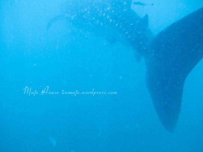 whaleshark005