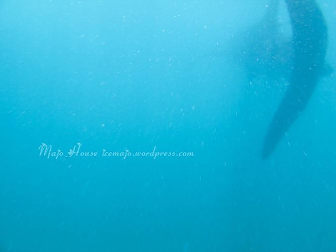 whaleshark006